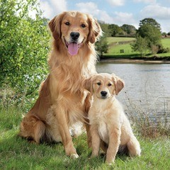 Golden Retriver servietter 27x27 cm